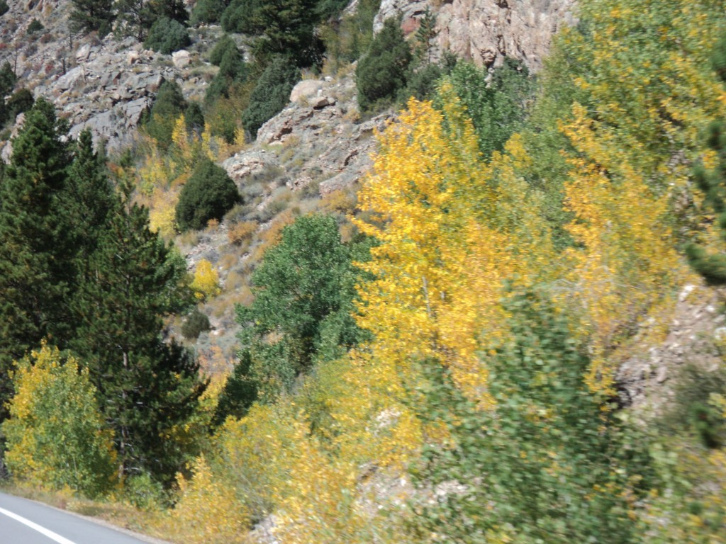 Aspen starting to turn at the bottom of the Poudre Canyon
