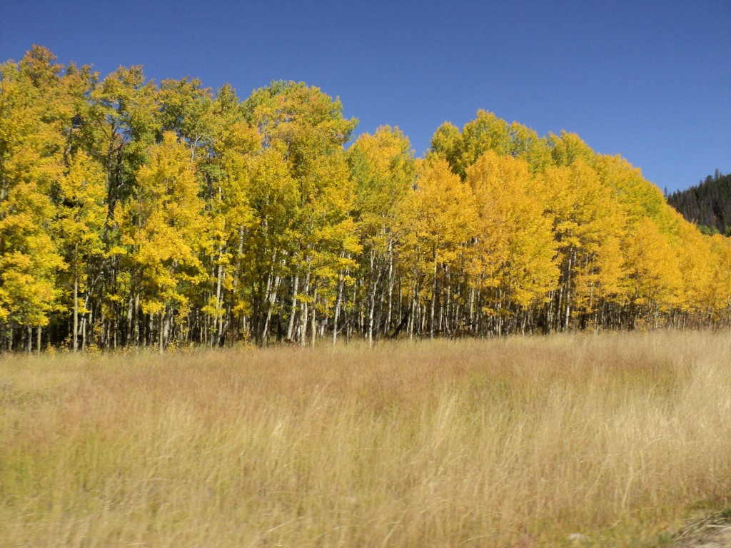 Aspen fully turned near top